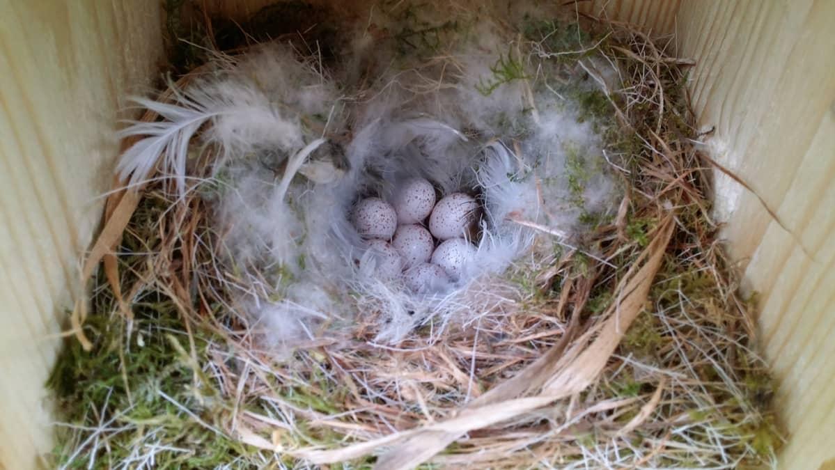 Pönttöön hylättyjä linnunmunia