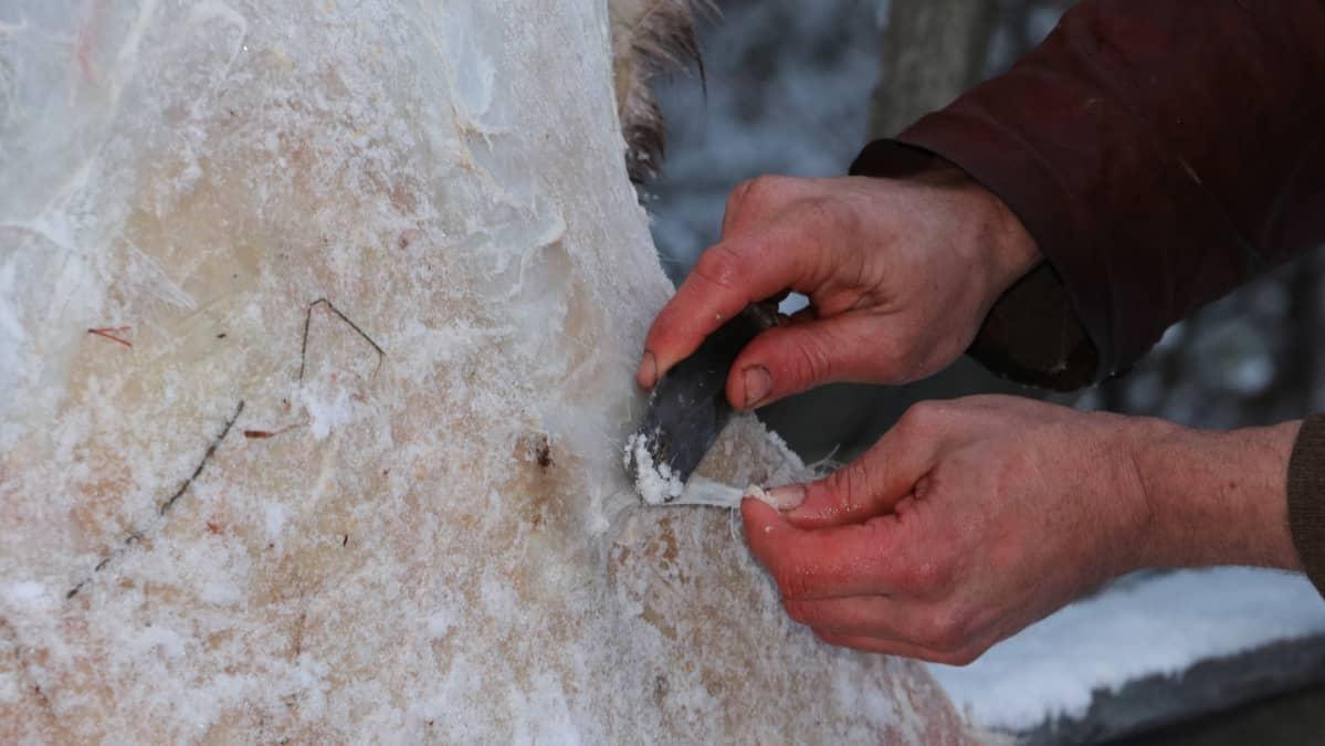 Poronnahan käsittely kivikautisella veitsellä.