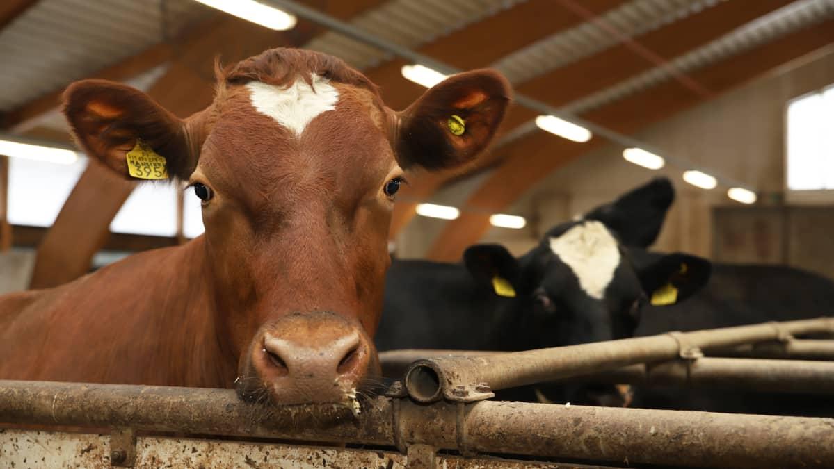 Lehmiä simolaisen maitotilan navetassa