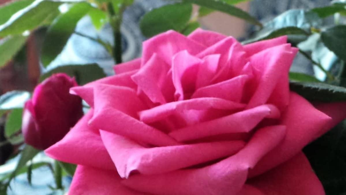 Ruusu läheltä kuvattuna