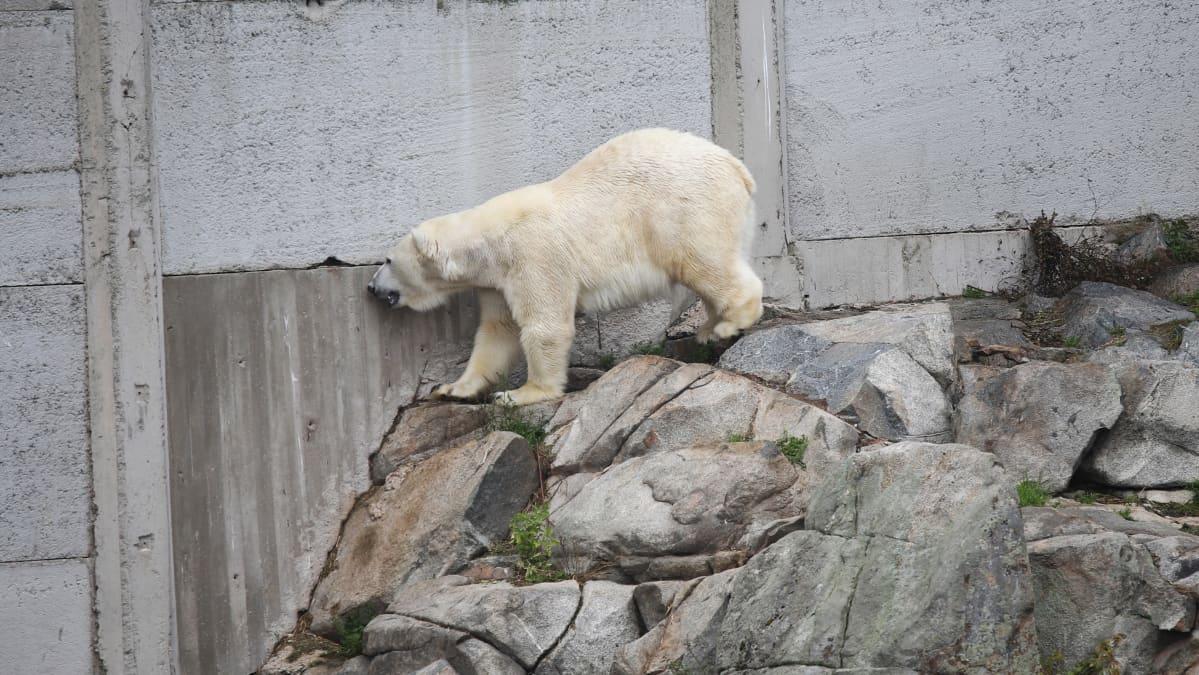 Ranuan eläinpuiston jääkarhu Sisu