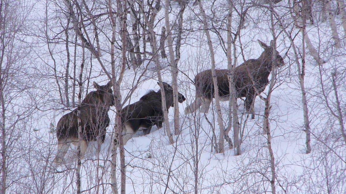 Hirviä metsikössä talvella.