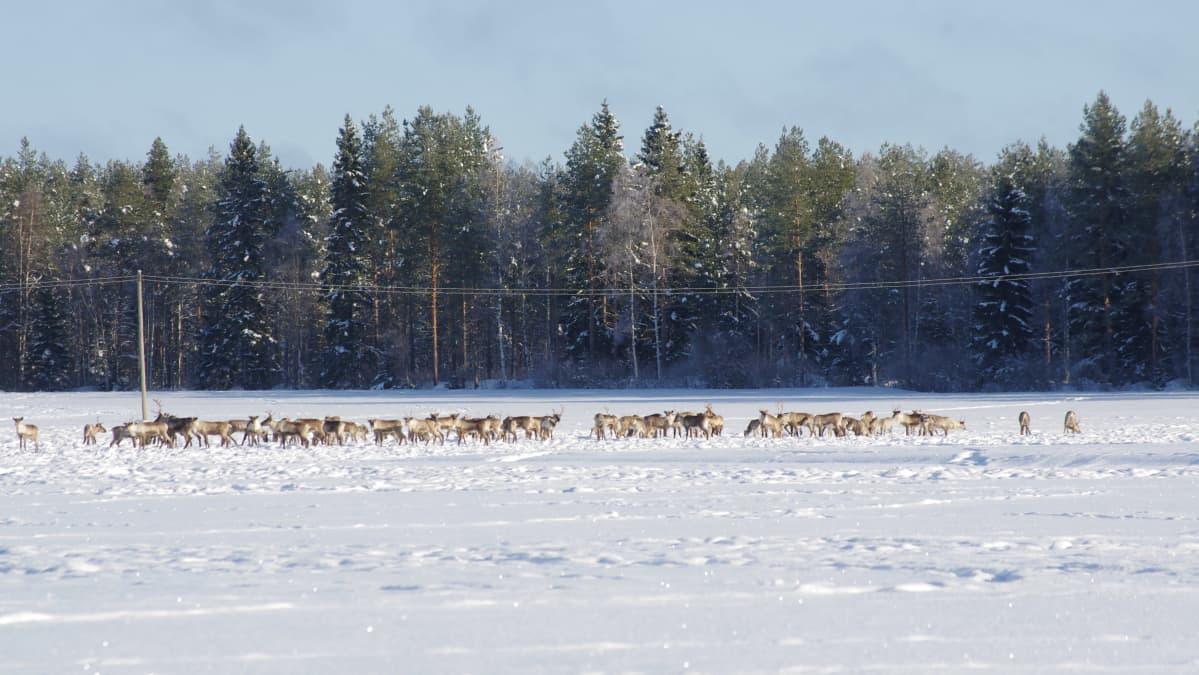 Metsäpeuroja talvilaitumilla Kauhavalla