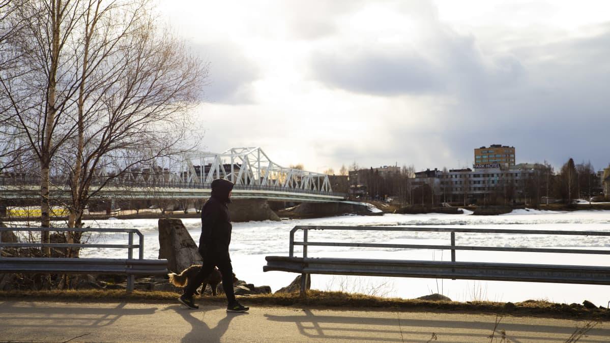 Tornion illassa koiranulkoiluttaja kävelee Torniojoen vartta pitkin. Taustalla keskusta