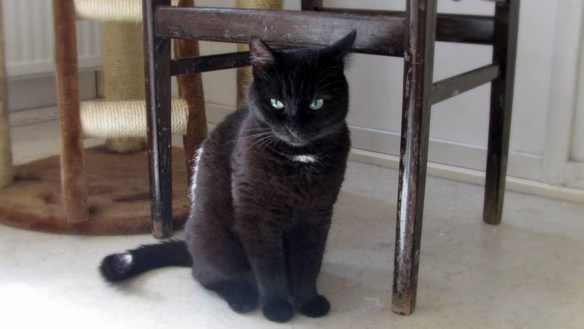 Musta, kaunis kissa istuu ja tuijottaa suoraan kameraan