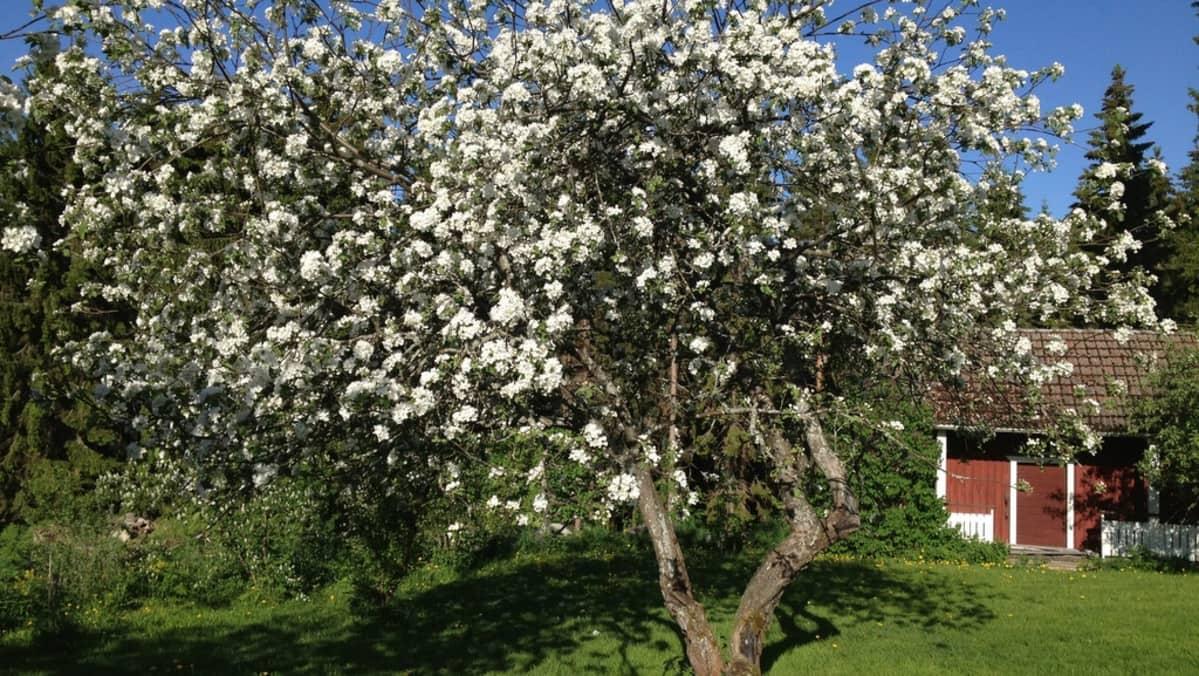 Omenapuu kukassa Pohjois-Karjalassa Liperissä