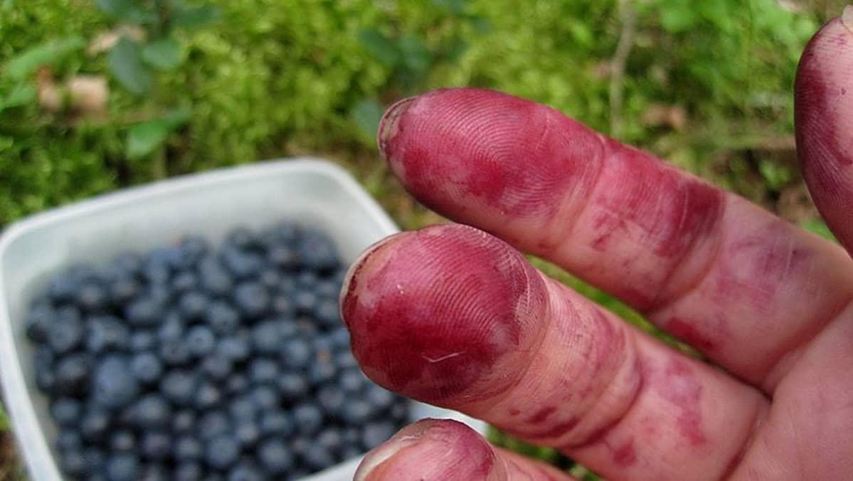 Mustikan sotkemat sormet ja rasiallinen marjoja mättäällä