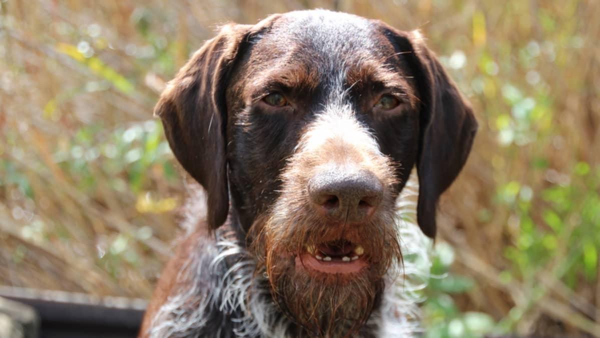 sorsanmetsästys Vili-koira.JPG