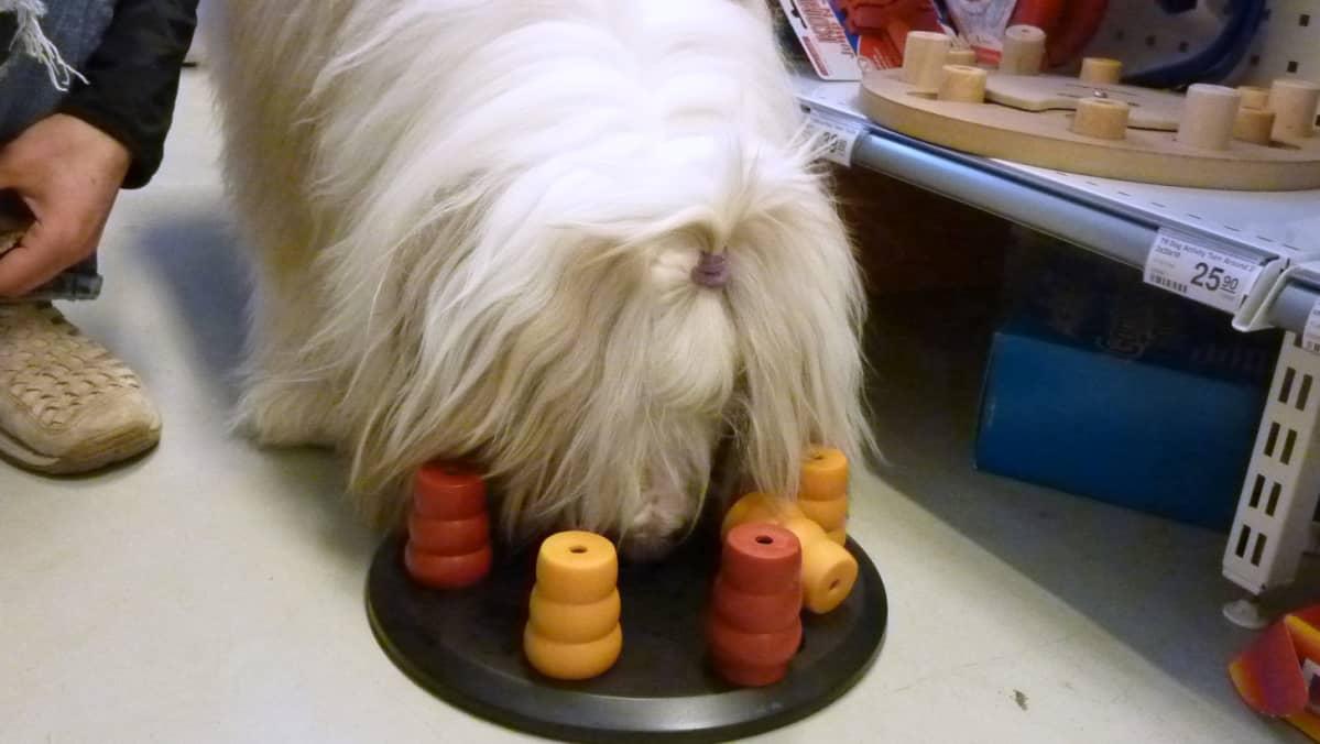 Koira pelaa älypeliä.