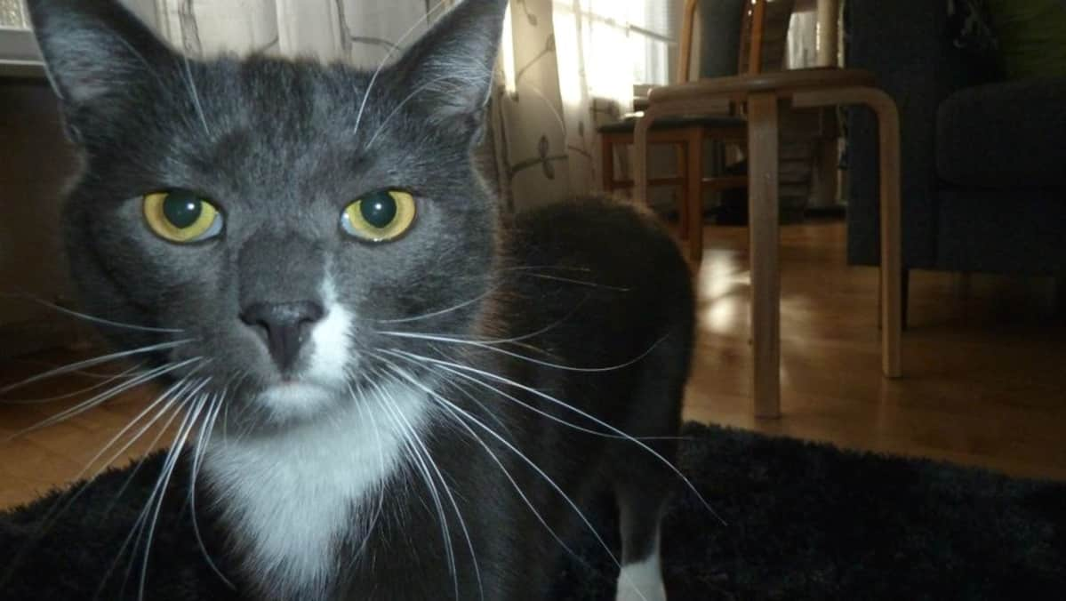 Miksu-kissa tuijottaa suoraan toimittajan kameraan.