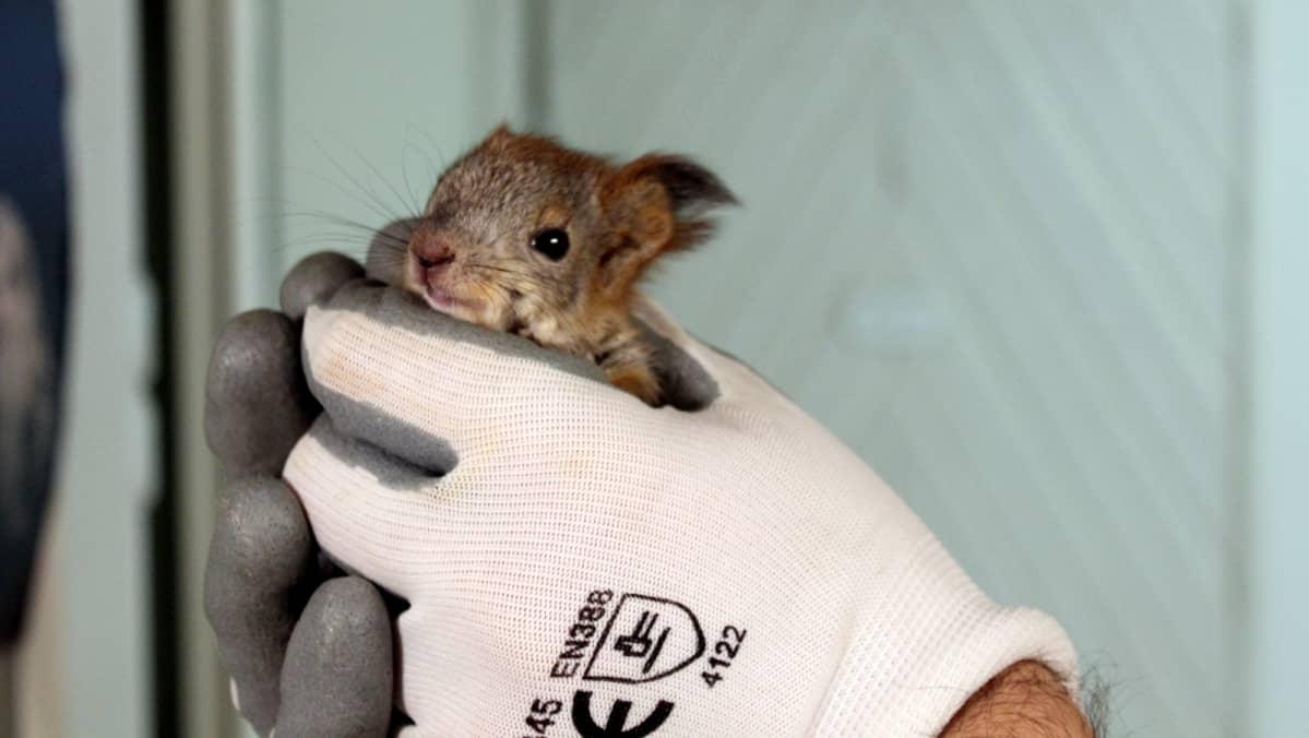 Oskari-orava hoitajansa käsissä.