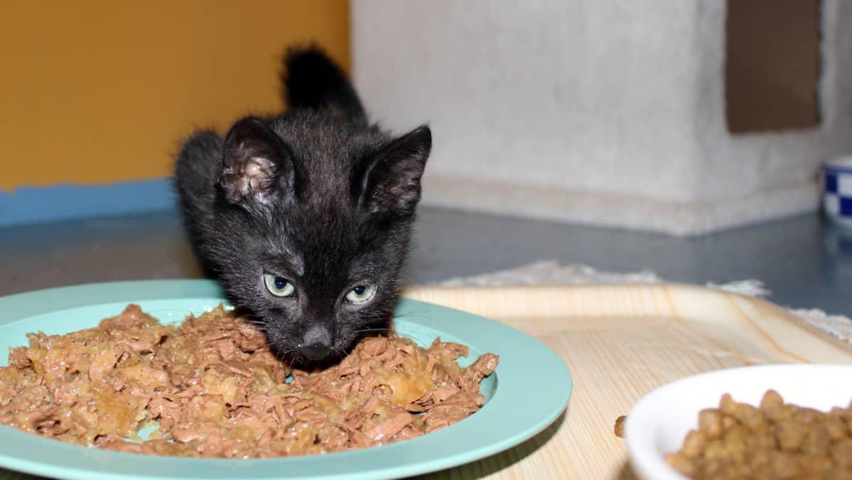 Kissanpentu syömässä.