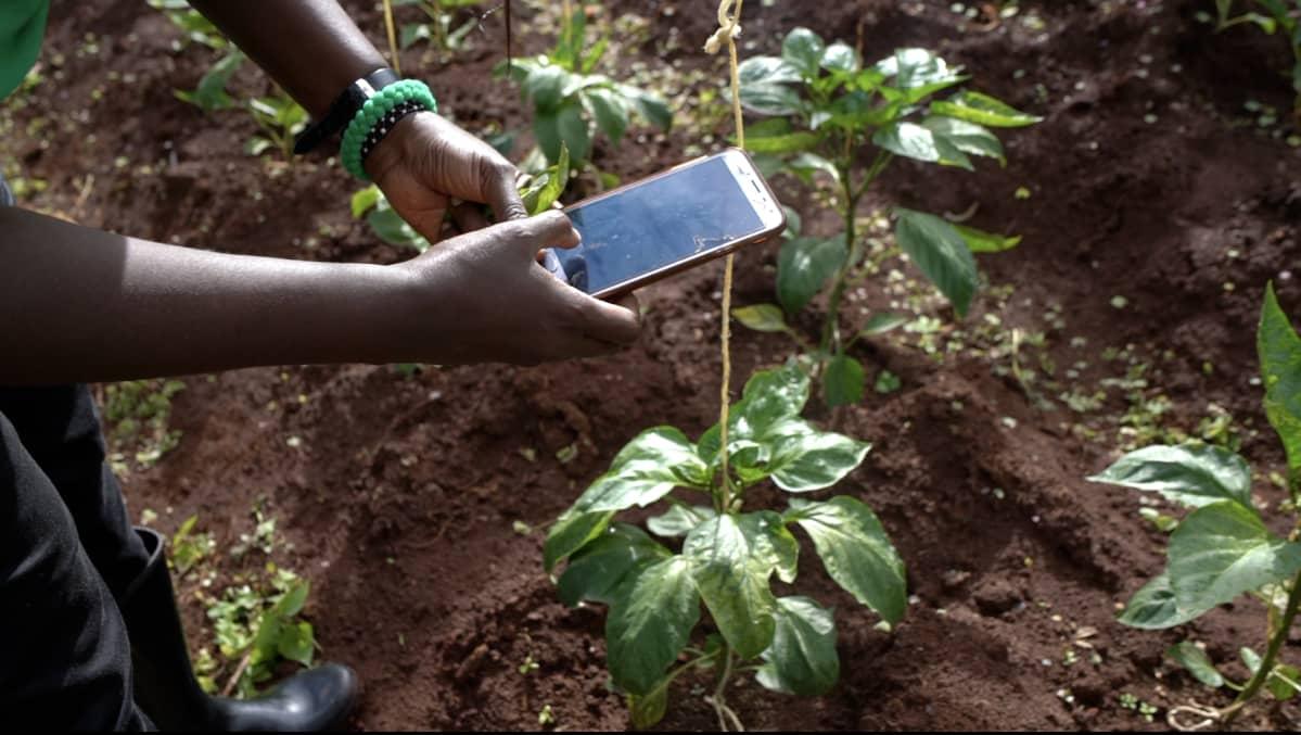 Fidelice Wanjiru lähettää kuvan keltaisista paprikanlehdistä. Muutamassa tunnissa hän saa vastauksen puhelimeensa ja arvion siitä, mikä kasvia vaivaa.