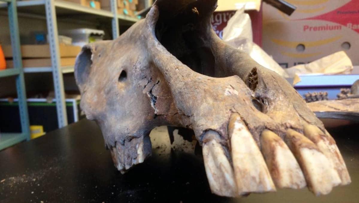 Lahden torikaivauksissa löytyi muun muassa hevosen kallo