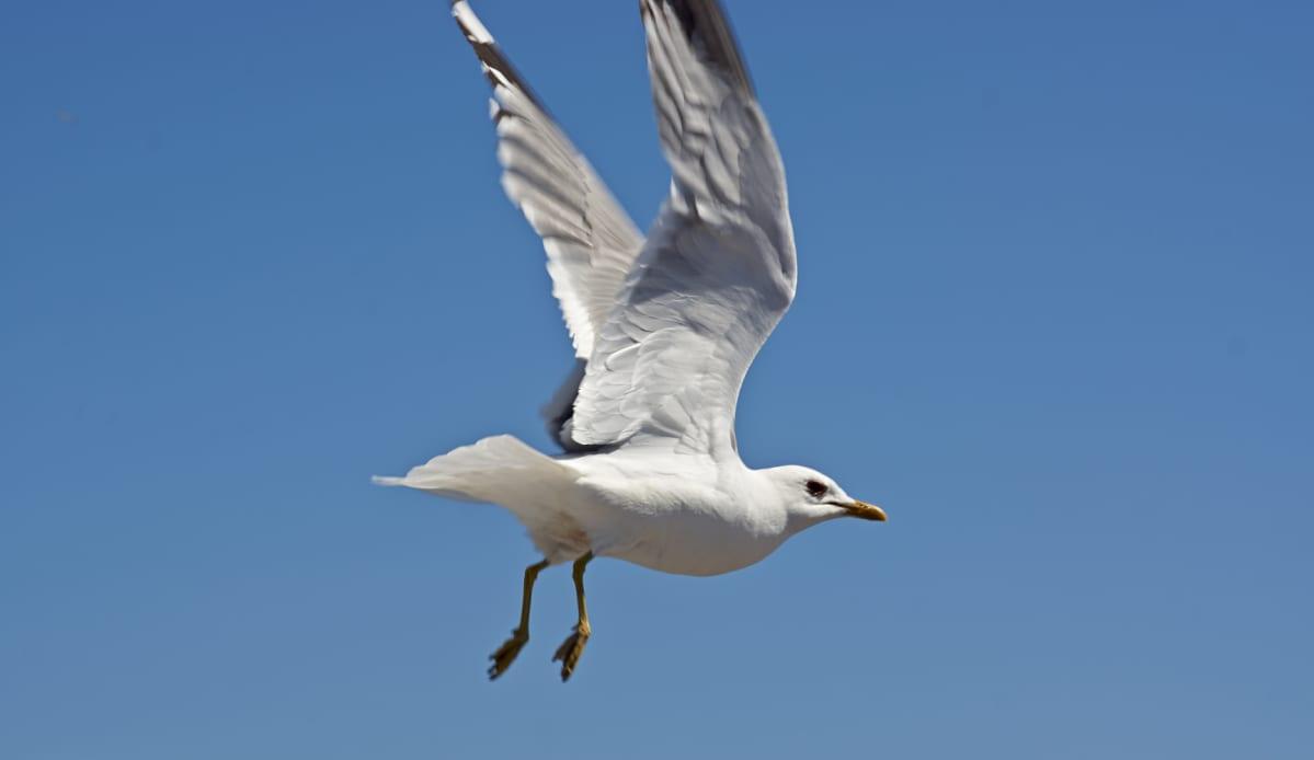 Sea gull flying.