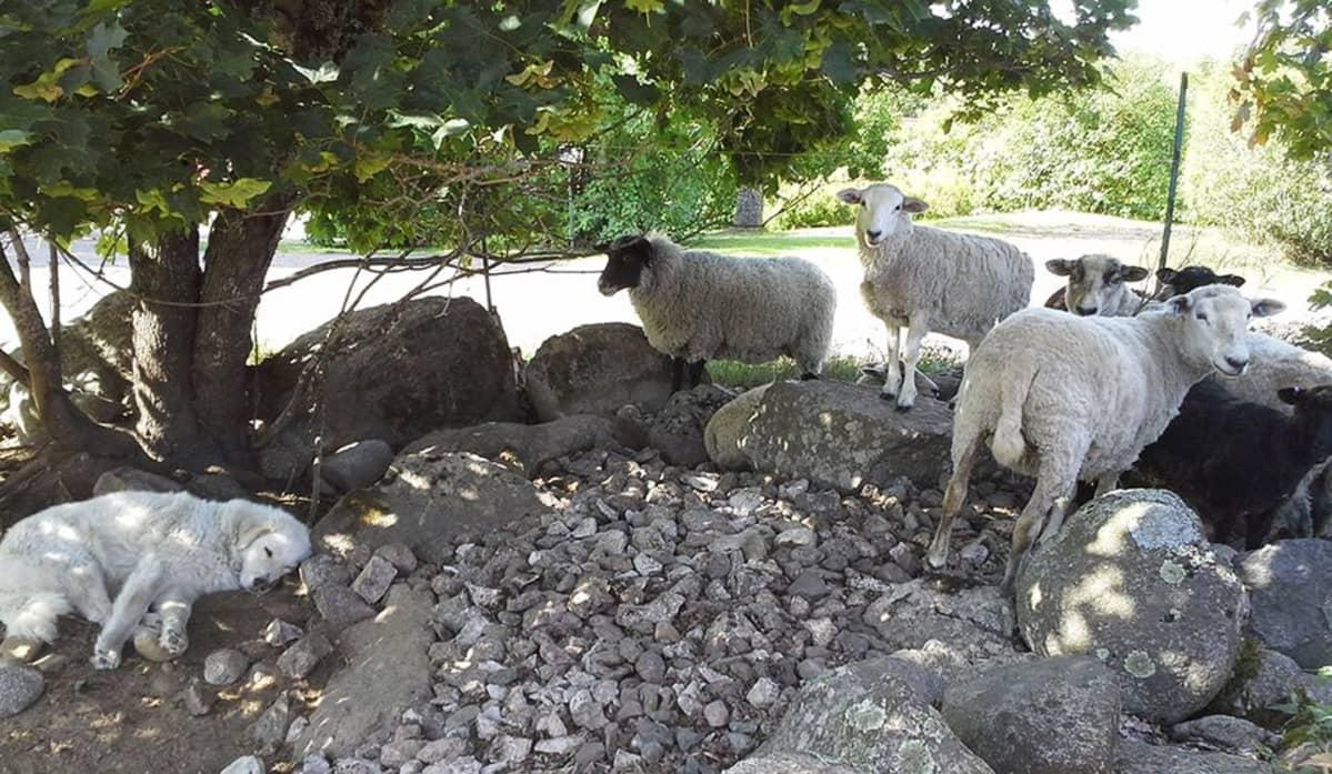 Laumanvartijakoira lepotauolla lammastilalla Savitaipaleella.