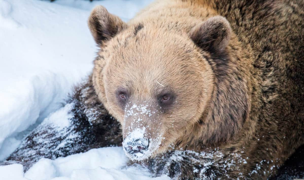 Malla-karhu Ranuan eläinpuisto