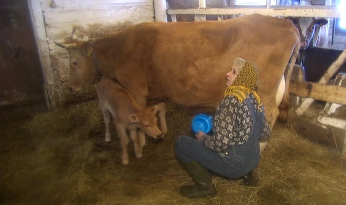 Johanna Penttinen lypsää emolehmältä maitoa astiaan ja antaaherkun kahden päivän ikäiselle vasikalle.