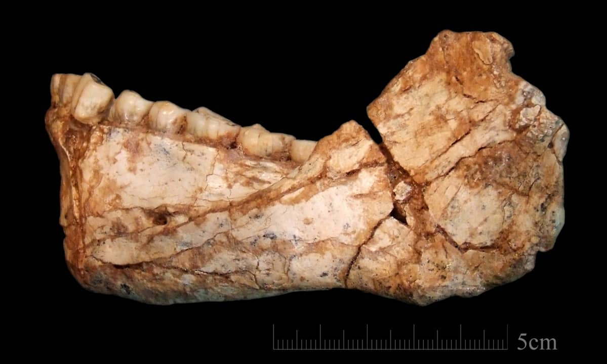 An undated handout photo made available by the Max Planck Institute for Evolutionary Anthropology (MPI EVA) on 07 June 2017 shows an almost complete adult mandible discovered at the Jebel Irhoud site in Morocco
