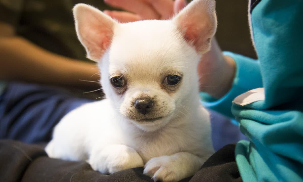 Chihuahua, lemmikit, koira, chihuahuan pentu