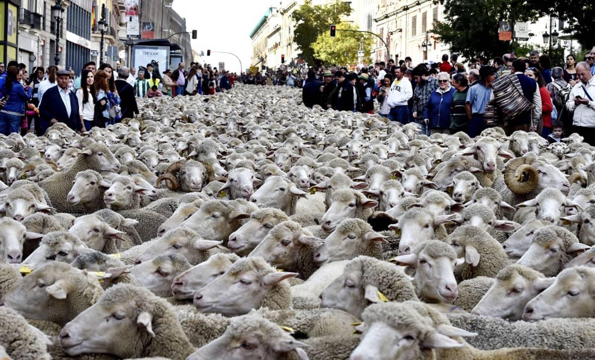 Paimenet saattavat parintuhannen lampaan laumaa pitkin Madridin katuja 25. lokakuuta osana tapahtumaa, jolla muistetaan paimenten muinaisia reittejä talvilaitumilta kesälaitumille.