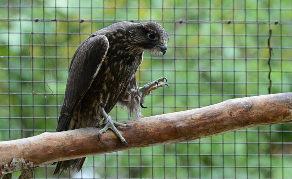 Haukka Heinolan lintutarhan orrella.