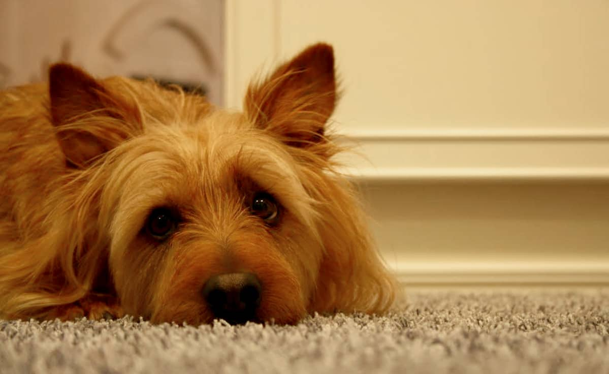 kilpirauhasen vajaatoiminta koiralla