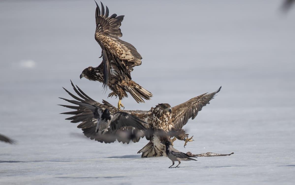 Kaksi merikotkaa ja kaksi varista haaskalla hangella