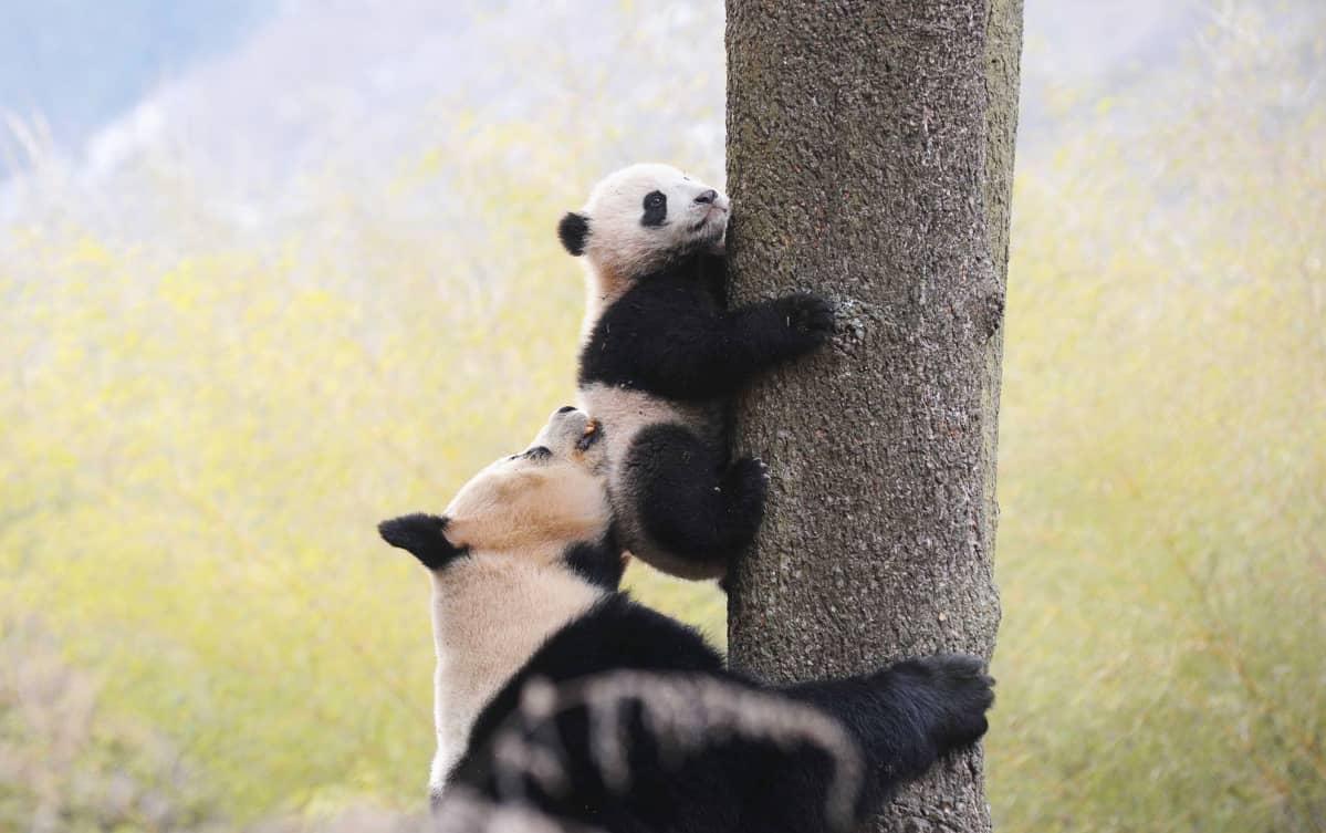 Syyskuun 8. päivänä otetussa valokuvassa jättiläispanda Ximei opettaa pentuaan kiipeämään puuhun Hetaopingin villieläinkeskuksessa Kiinan Sichuanissa.