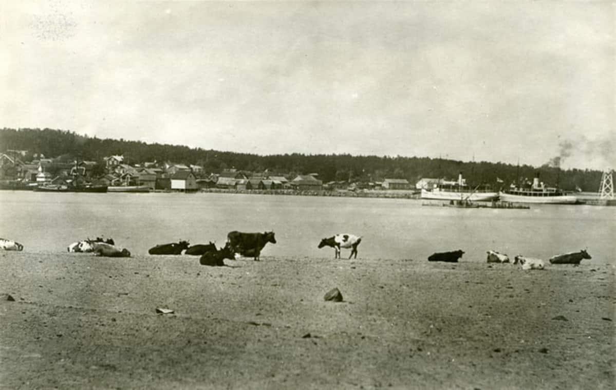 mustavalkokuva, lehmiä rannalla Suursaaressa, taustalla Suurkylän satama