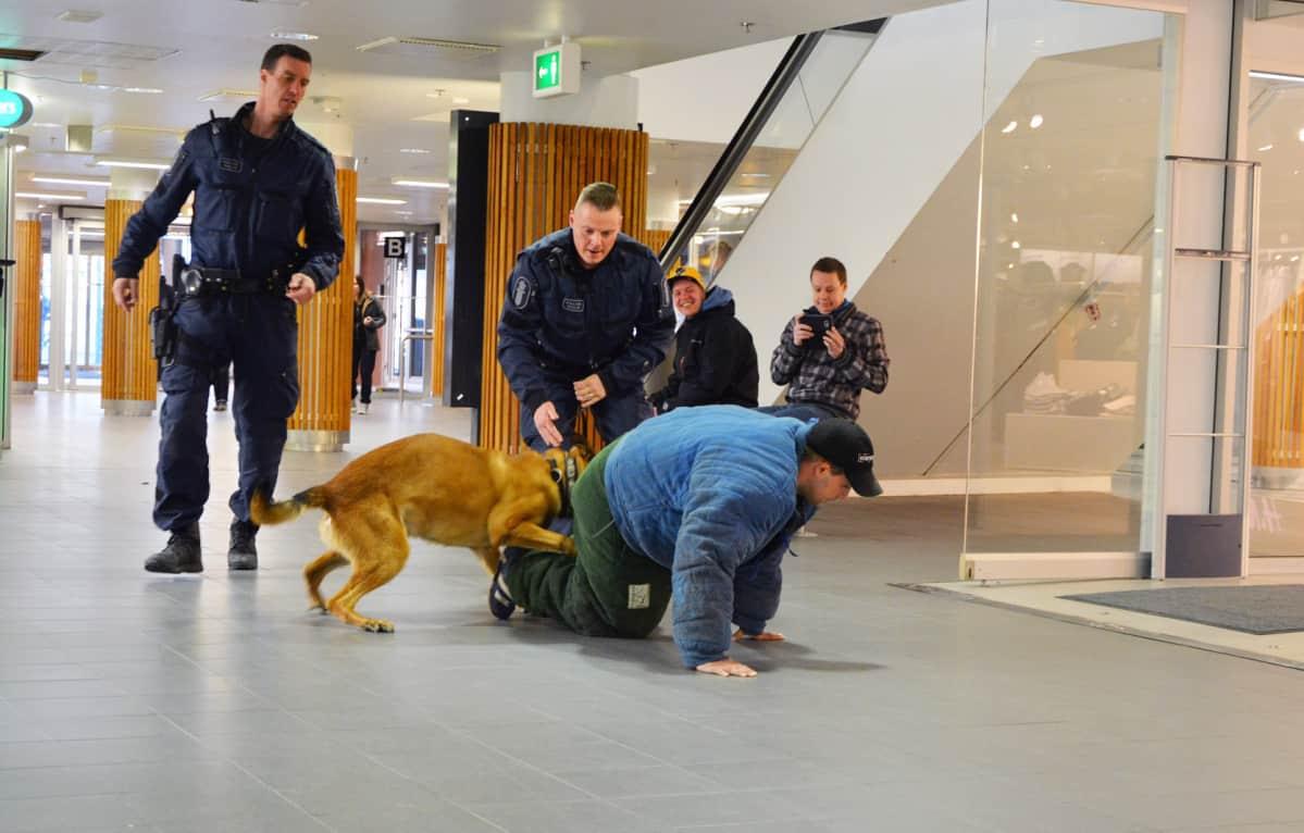 Poliisikoira iskee hampaansa kiinniotettavaan.