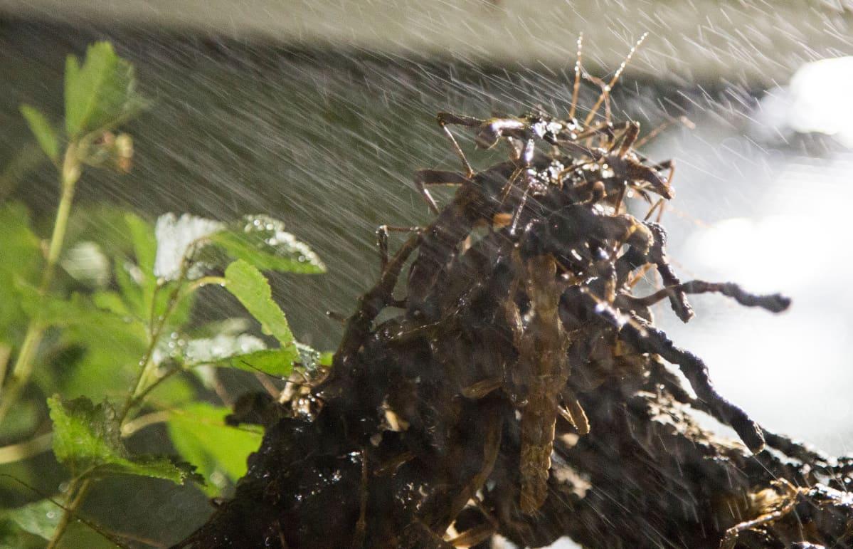 Kummitussirkkaa sumutetaan terraariossa.