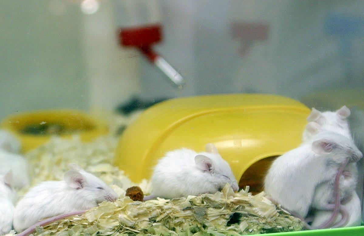 Valkoisia hiiriä.