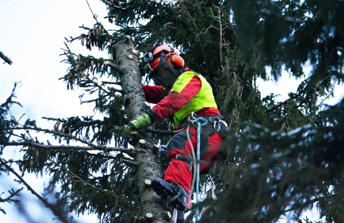 Kim Sorvari sahaamassa puuta
