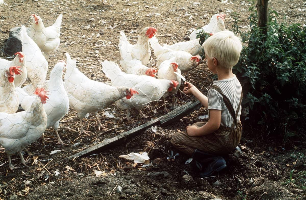 Pieni poika ruokkii kanoja.
