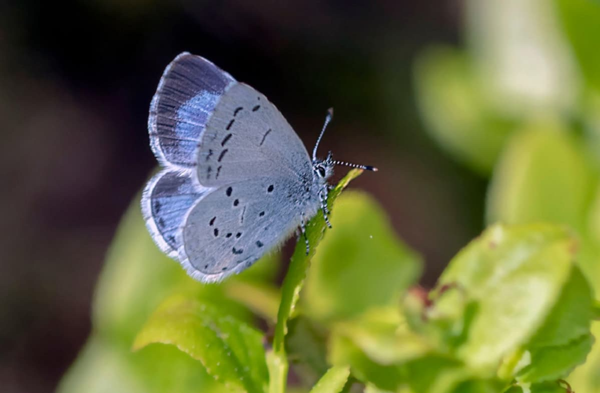 Ruohonkorrella istuvan perhosen siipien yläpinnat ovat kirkkaan siniset, alapinnat vaaleammat.
