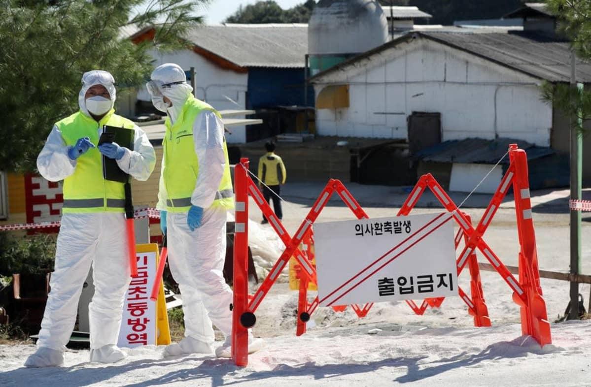 Viranomaiset valvoivat syyskuussa 2019 karanteeniin asetettua sikatilaa  Gimpossa, Etelä-Koreassa.