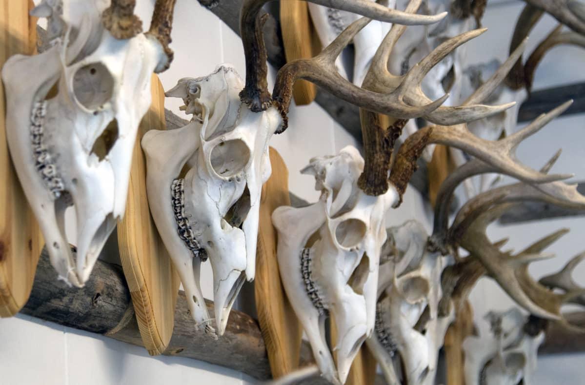 Valkohäntäpeurojen sarvitrofeita rivissä peuramuseon seinällä Vesilahdella