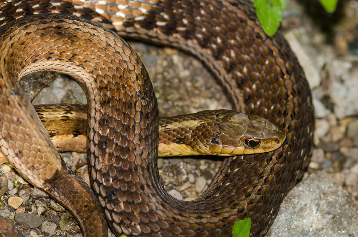 Kiepille kääriytynyt kuparinruskea käärme.