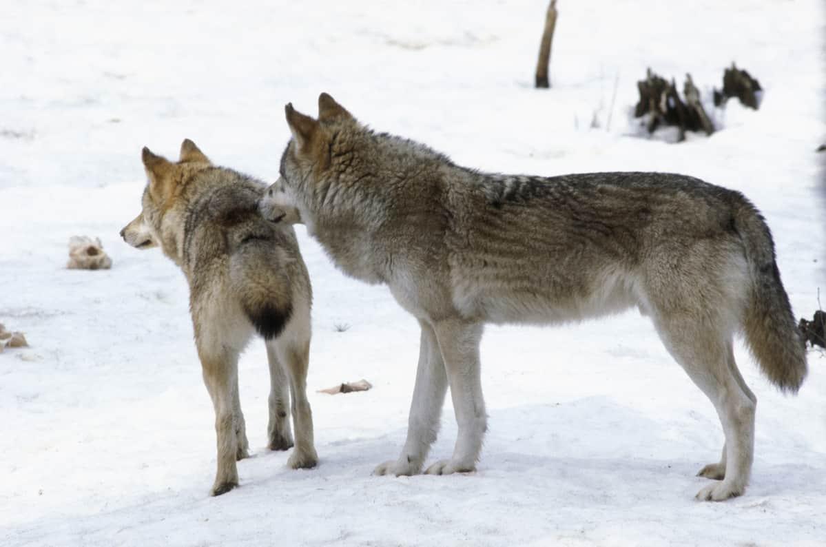 Kuvassa kaksi sutta seisoo talvimaisemassa  ja katsoo kuvan takareunaan.