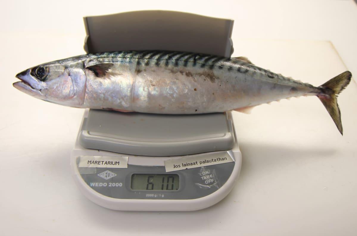 Suomen ennätyskokoinen makrilli vaa'alla: 610 grammaa ja 40 cm. Kala tarttui verkkoon Kotkan Santalahdessa.