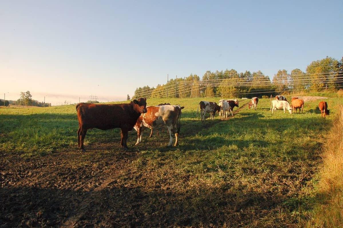 Vain vartin ajomatkan päässä Helsingin kantakaupungista sijaitsee Bisan tila, jossa on muun muassa lehmiä, lampaita ja viljeltyjä peltoja.
