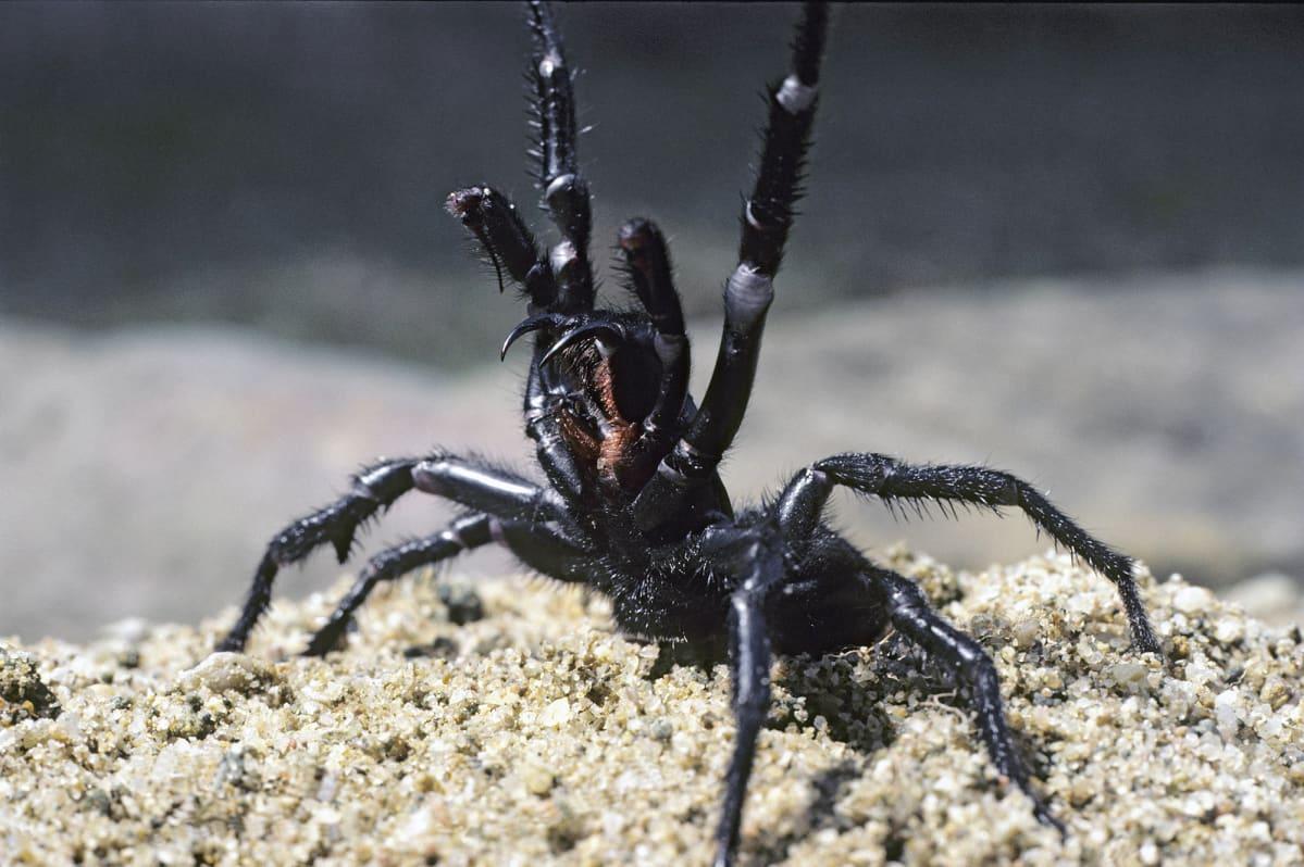 Sydneynsuppilohämähäkki puolustautumisasennossa