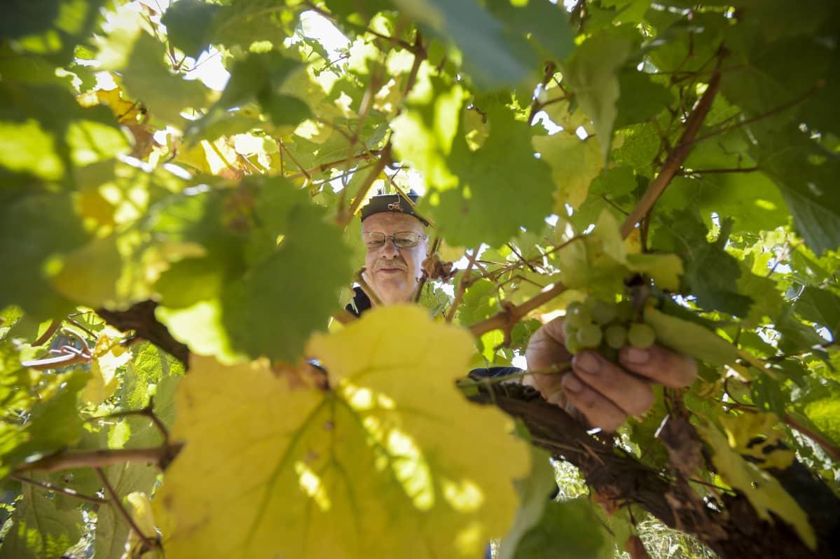 Kausityöntekijä poimii viinirypäleitä.
