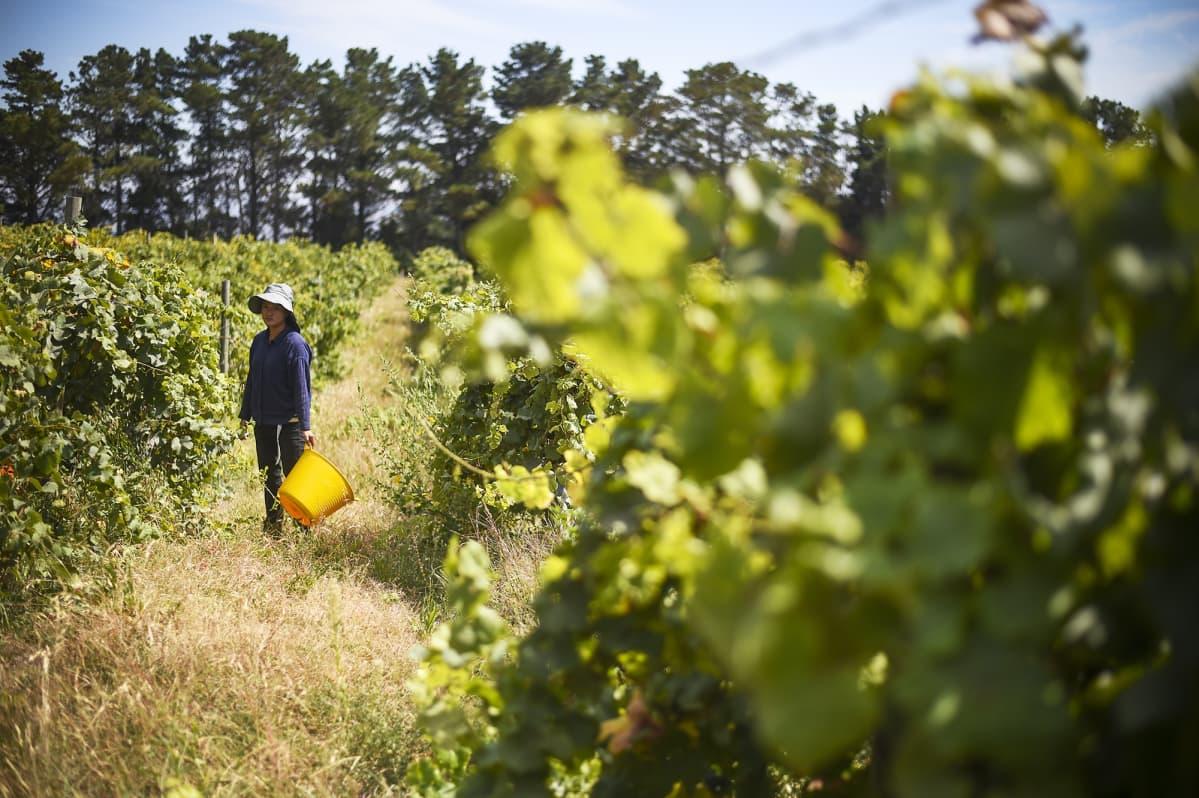 Kausityöntekijä poimimassa viinirypäleitä.