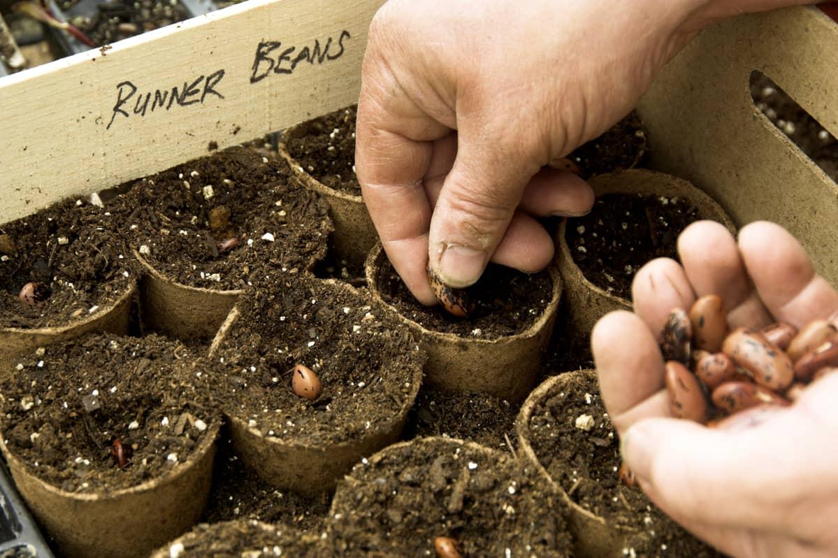 Pavun siemeniä istutetaan turveruukkuihin.
