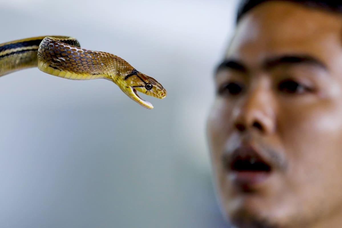 Lähikuvaa käärmeen päästä, taustalla miehen keskittyneet kasvot.