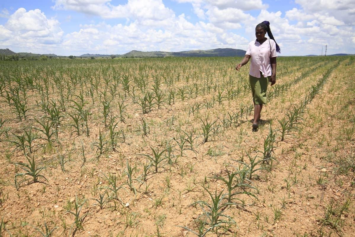 Kuvassa nainen kävelee maissipellolla Zimbabwessa.