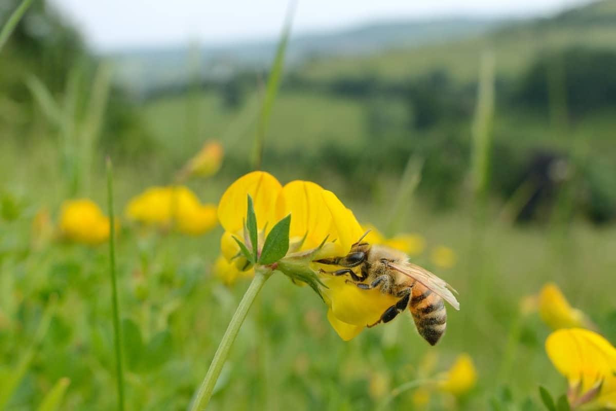 Mehiläinen keltaisessa kukassa ruohikkoisessa maisemassa.