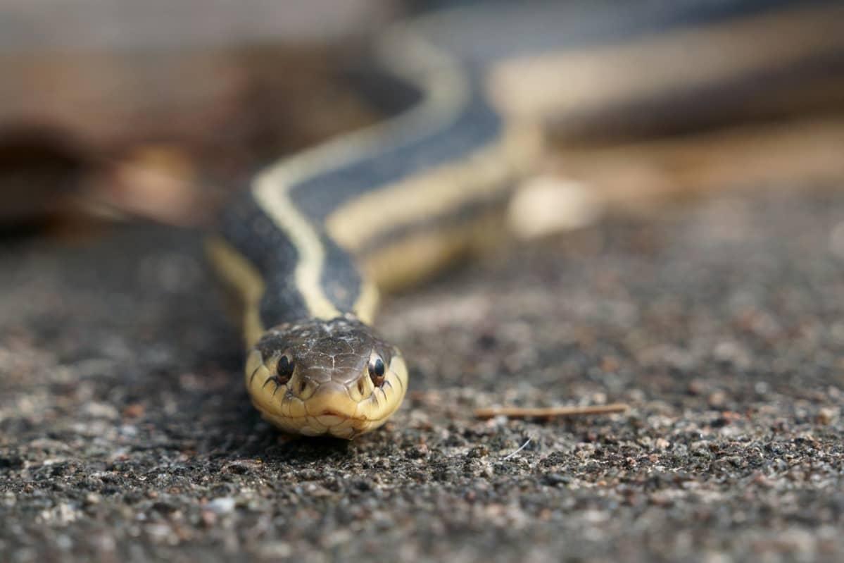 Lähikuva kameraan katsovasta käärmeestä.